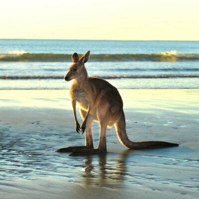 kangeroo-at-the-beach